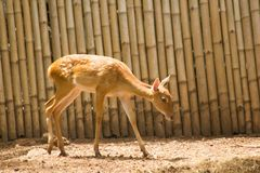 The deer is raised in the zoo. Which the deer is classified as a mammal Has a long, rough brown hair royalty free stock images