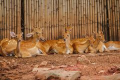 The deer is raised in the zoo. Which the deer is classified as a mammal Has a long, rough brown hair stock images