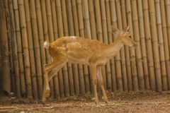 The deer is raised in the zoo. Which the deer is classified as a mammal Has a long, rough brown hair royalty free stock photos