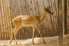 The deer is raised in the zoo. Which the deer is classified as a mammal Has a long, rough brown hair stock photo