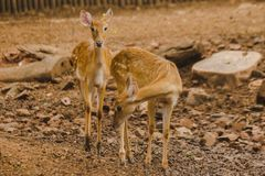 The deer is raised in the zoo. Which the deer is classified as a mammal Has a long, rough brown hair royalty free stock photo