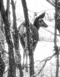 A deer reaches a clearing in the woods royalty free stock photography
