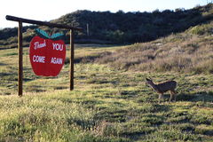 Deer reading a sign. This is a picture of a mule Deer doe during sunset,  as sh appears to read a thank you come again sign Royalty Free Stock Photos