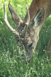 Deer. Royalty Free Stock Photography