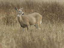 Deer in the refuge. Stock Photo