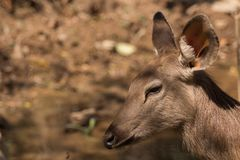 Deer relax Royalty Free Stock Photography