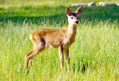 Deer in reservation Stock Image