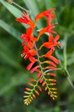 Red Crocosmia wand bloom with individual flowers. Deer Resistant, Attract Butterflies, Hummingbirds, Rabbit Resistant, Multiplies, Naturalizes. Crocosmia Lucifer Stock Images