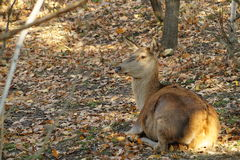 Deer rest autumn yellow leaves Stock Photo