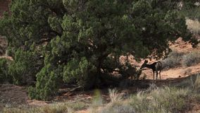 Deer Rest in the Shade at Arches National Park stock video
