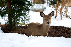 Deer at rest in snow Royalty Free Stock Image
