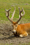 Deer resting Royalty Free Stock Photography