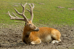 Deer resting Royalty Free Stock Photos