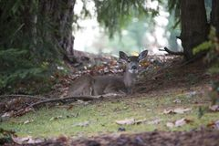 Deer resting in forest stock photos