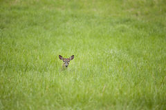 Deer resting in grass Stock Photos