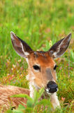 Deer resting laying down in green grass meadow. Deer laying down in a green meadow Royalty Free Stock Photography