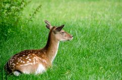 Deer. A deer resting in the long grass stock photo