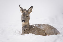Deer resting in snow Royalty Free Stock Images