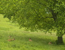 Deer resting under tree Royalty Free Stock Images