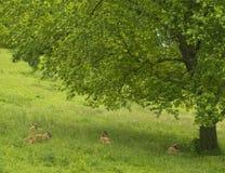 Deer resting under tree. Throlds white lipped deer resting under a tree in summer Royalty Free Stock Images
