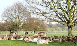 Deer in Richmond Park Royalty Free Stock Image