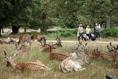 Deer in Richmond Park royalty free stock photo