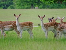 Deer in Richmond Park Stock Photos