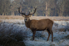 Deer in Richmond park. Early December, London Royalty Free Stock Photo