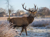 Deer in richmond park. Early January Royalty Free Stock Image
