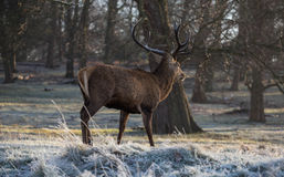 Deer in richmond park Royalty Free Stock Images