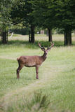 Deer in Richmond Park. Stock Images