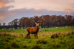 Deer in Richmond Park Royalty Free Stock Photography