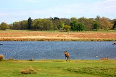 Deer in Richmond Park, London. Deer roam freely in the beautiful Richmond Park nature reserve of West London stock photos