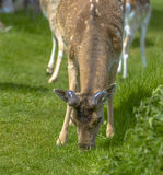 Deer in Richmond Park Stock Photography