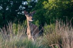 Deer in Richmond Park, London Royalty Free Stock Photos