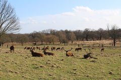 Deer in Richmond Park Royalty Free Stock Photos
