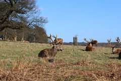 Deer in Richmond Park. Surrey, London stock image