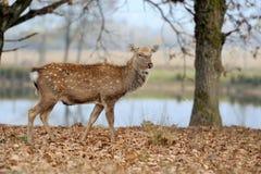 Deer in river Stock Photo