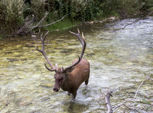 Deer in a river stock images