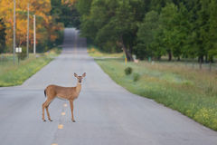 Deer in the Road Royalty Free Stock Photos