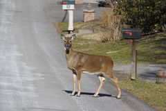 Deer in the Road. On a Suburban Street Stock Images