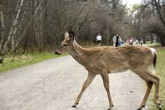 Deer in the road Stock Photography