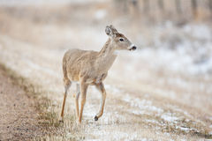 Deer By Road Royalty Free Stock Images