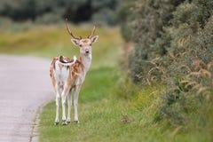 Deer by roadside Royalty Free Stock Photos