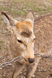 Deer roam free in Nara Park. Japan Royalty Free Stock Photo