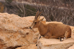 Deer on the rock Royalty Free Stock Photography