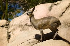 Deer on Rocks Stock Image