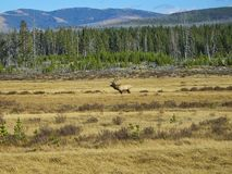 a deer in the rocky mountains stock photography