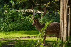 Deer. Roe deer in Wildpark Neuhaus Royalty Free Stock Photo