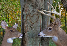 Deer romance in woods Stock Image